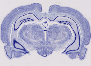 10x slide scan of mouse brain